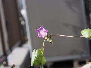 秋植え朝顔、花27、28、110日目