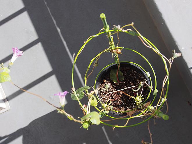 秋植え朝顔、上から、110日目