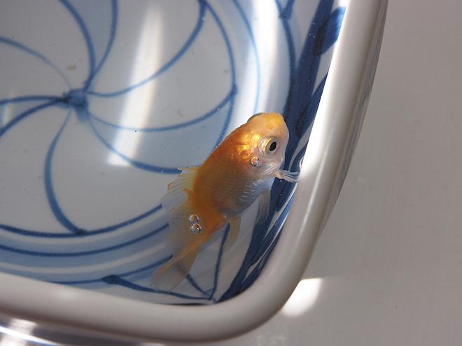素赤のどんぶり金魚
