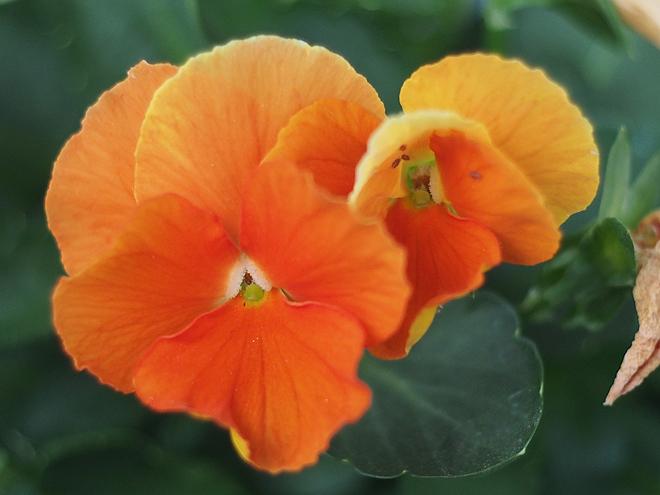 オレンジのパンジー2