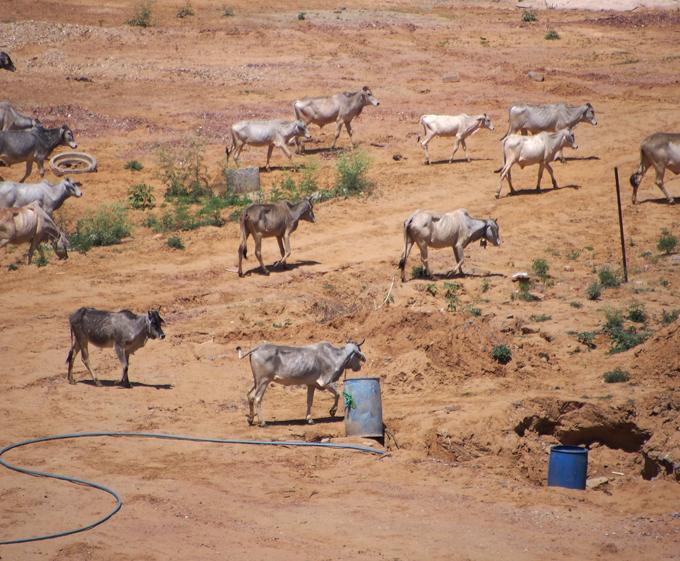 牛の群れ、散歩