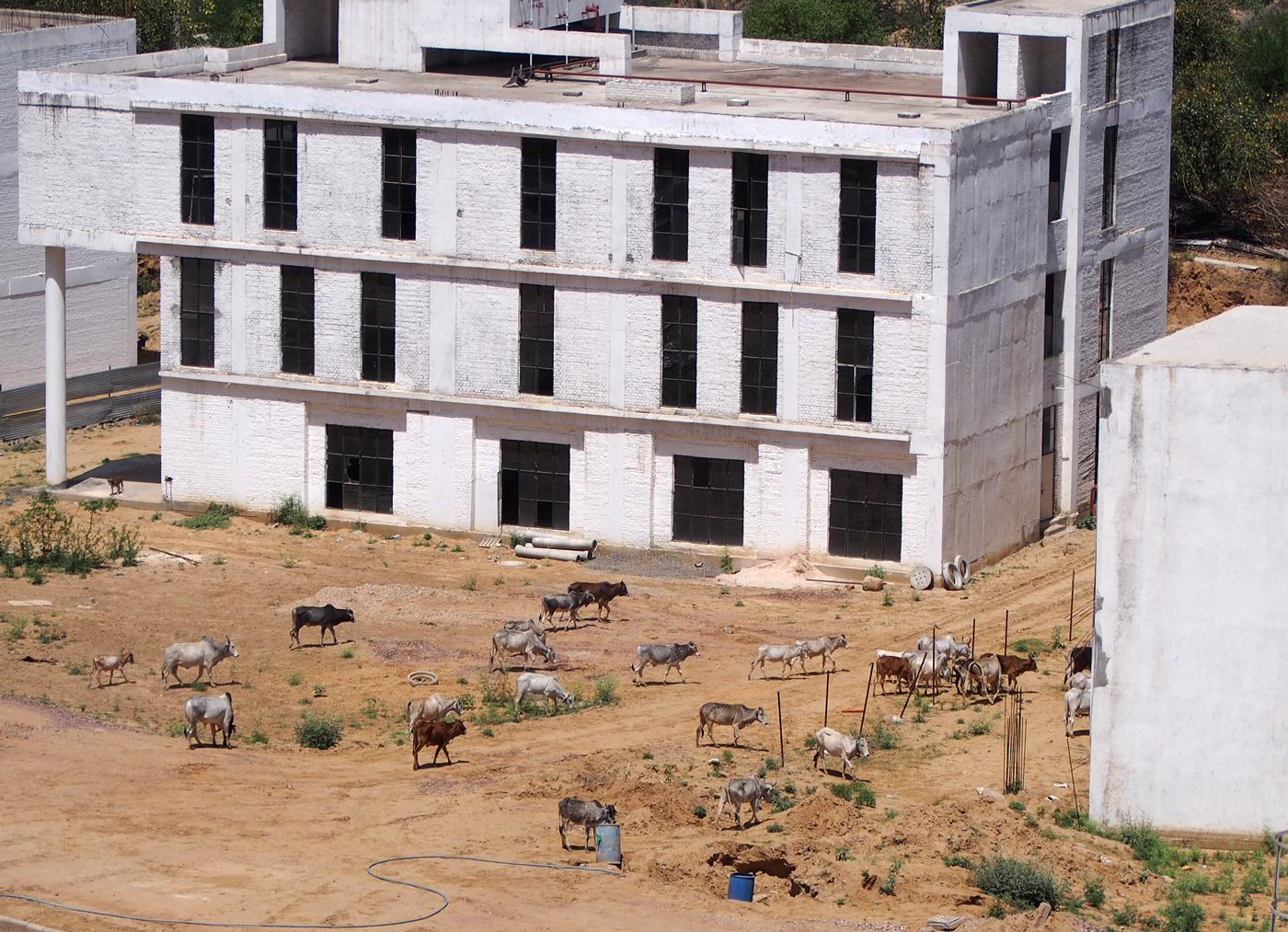窓からの眺め、牛の群れ